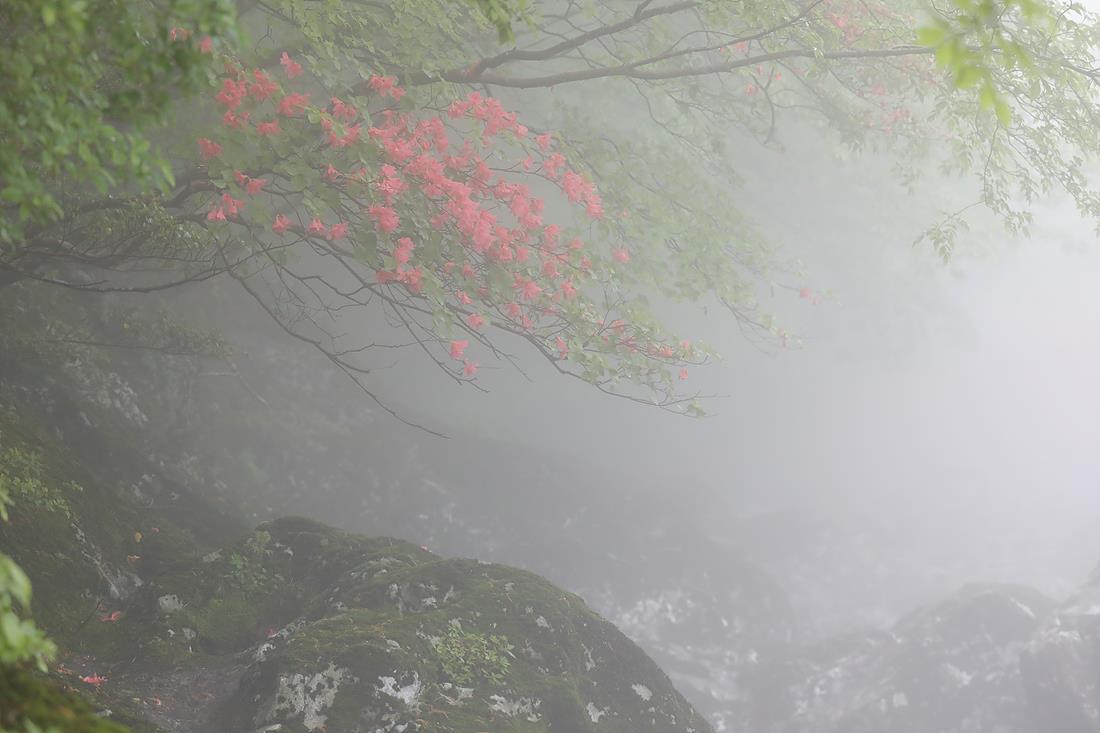 20180516-012_참꽃나무.jpg